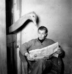 Ostrich looking over the shoulder of a man reading the newspaper