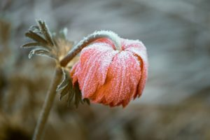 Frozen Rose covered in frost
