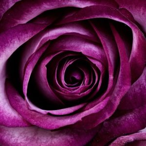A Purple Rose