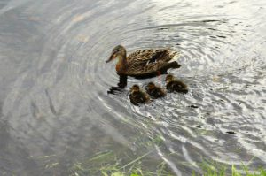A duck and her three ducklings swimming in a pond.