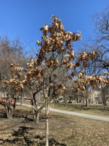 A tree that is still covered in brown, dead leaves.