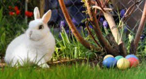 A white rabbit sitting on grass next to coloured easter eggs.
