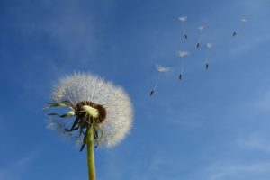 Dandelion seeds being blown away from a mature dandelion plant.