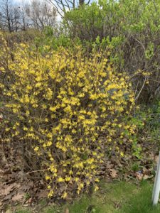 Bushes covered in green leaves and yellow flowers.