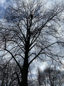 A photo of a bare tree in April. There is a bird's nest in the uppermost branches.