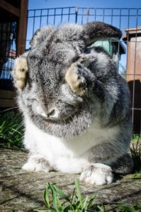 A grey and white rabbit covering its eyes with its paws.