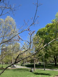 A tree whose leaves are still in the budding stage. There are partially and fully green trees in the foreground of this park shot.