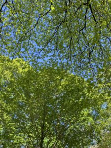 A skyward shot of large, healthy tree branches filled with leaves against a bright blue sky.