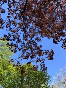 A canopy shot of white, red, and green tree leaves against a bright blue sky.