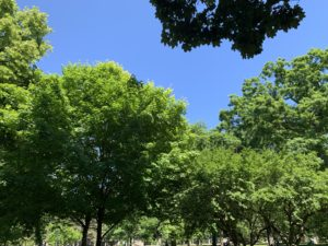 Shot of various canopies of leaves from trees against a bright blue sky.