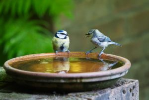 two birds sitting on the rim of a water bowl. One is chirping at the other.