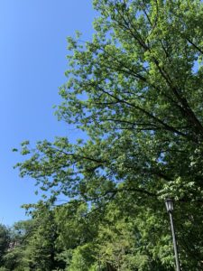 Large, green branches of a tree against a bright blue sky