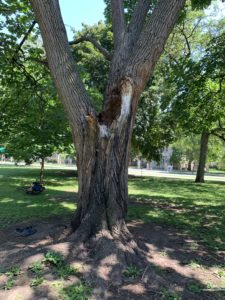 A tree that lost a third of its branches last winter. There is lots of damage in the trunk.
