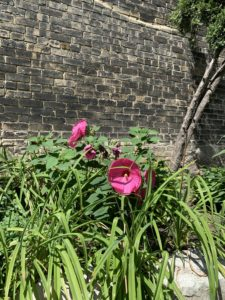 Pink flowers growing right next to a brick building.
