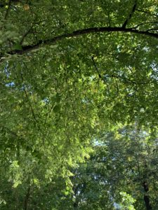 A thick, green canopy of leaves under a blue sky