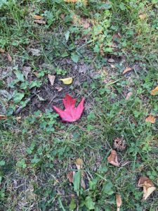 A red leaf lying on the ground.