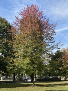 A tree whose leaves are red on the topmost branches and still green on the bottom ones.