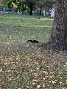 A park where several black squirrels are collecting nuts off of the forest floor.