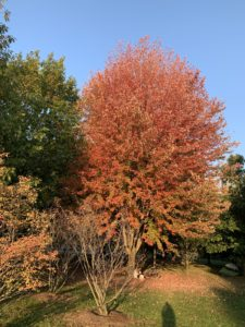 A maple tree filled with bright red leaves on a cloudless October day.