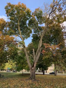 A tree that lost a third of its branches in a 2020 winter storm has begun to turn orange for the autumn 2020 season.