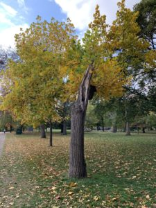 A tree that lost half of its branches and some of its trunk in a 2020 storm has begun to change from green to yellow autumn leaves.