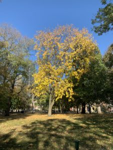 A tree filled with yellow autumn leaves that are glowing in the sunlight as they slowly drop to the ground.