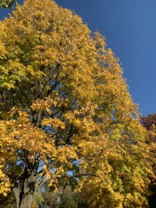 an autumn tree covered in bright yellow leaves
