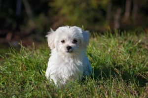a white maltese puppy sitting in a field of grass