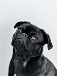 Black and white photo of a pug tilting its head in confusion