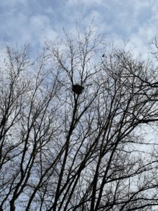 A bird's nest in bare tree branches.