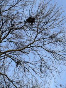 Two bird nests in the bare branches of a dormant tree.