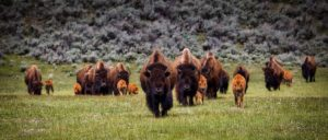 A herd of bison walking on a plain
