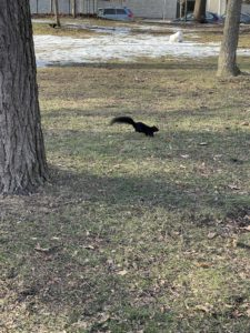 A black squirrel running on a patch of dead grass in January.