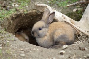 A rabbit sitting at the mouth of its den