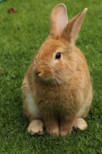 Close-up of a tan rabbit sitting on a patch of green grass