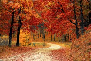 A path through the woods in autumn. Red maple trees line both sides of the path and have littered it with their fallen leaves.