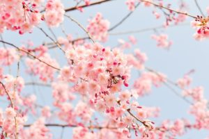 Close-up photo of cherry tree blossoms