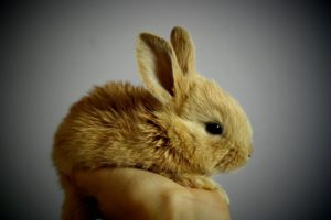 A tan baby rabbit sitting in someone's palm